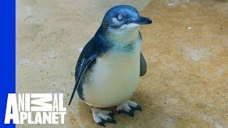 Training Day: JP The Baby Penguin Swims Solo  | The Zoo