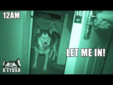 My Husky's Night Routine is VERY Demanding! Video.