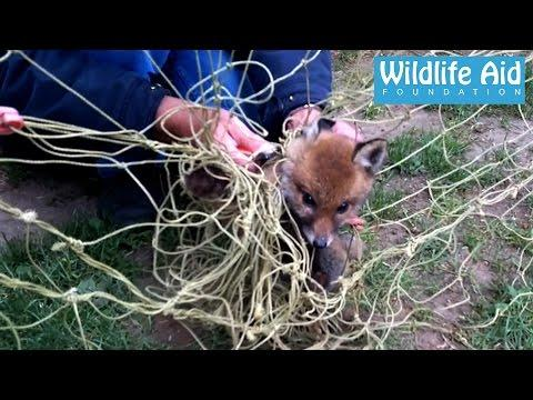 Baby Fox Rescued From Tangled Net