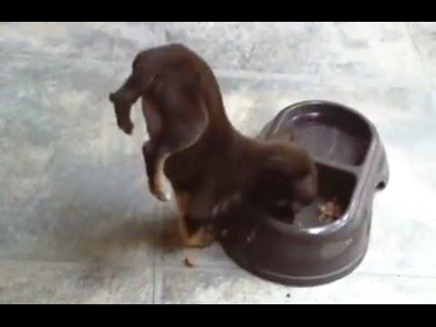 Puppies Doing Handstand Compilation