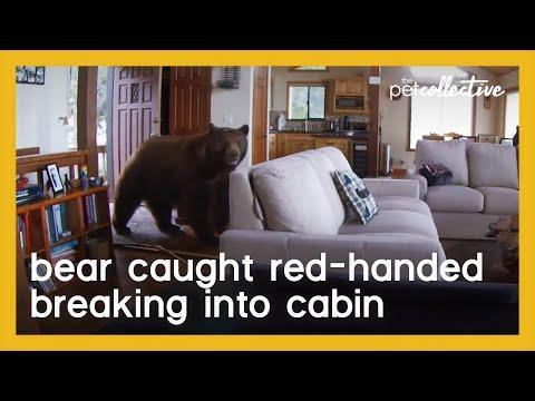 Bear Breaks in Cabin After Knocking Down the Door Video