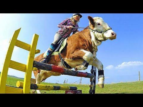 Smart Cows Crazy Cows – Funny Cow Videos – Cute Cow Video – Cows & Horses