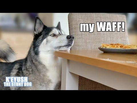 Husky Won't Stop TALKING Until He Gets His Waffles! Demanding Dog Video!