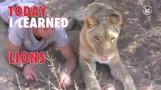 Today I Learned: Lions
