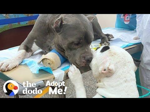 Bonded Pitties Who Lost Their Dad Are A Package Deal | The Dodo Adopt Me!