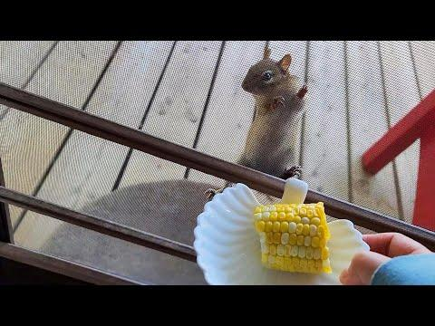 How Much Do Chipmunks Love Boiled Corn? #Video