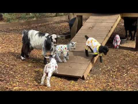 Baby Goats Pajama Party gone wrong