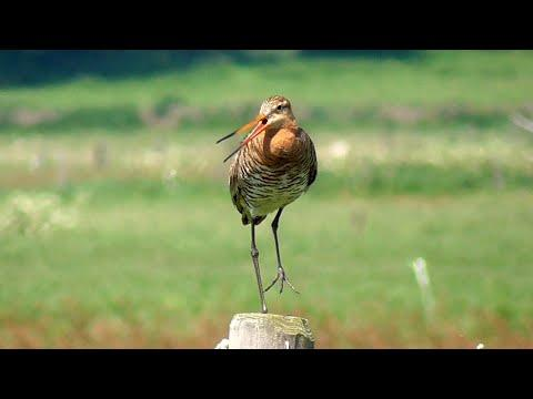 Black Tailed Godwit Calling Video