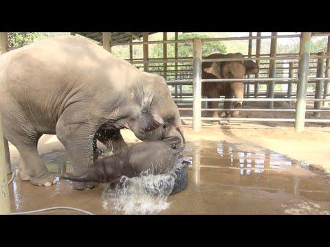 Baby Elephant Bathing In Tub... Until Mom Shows Up!