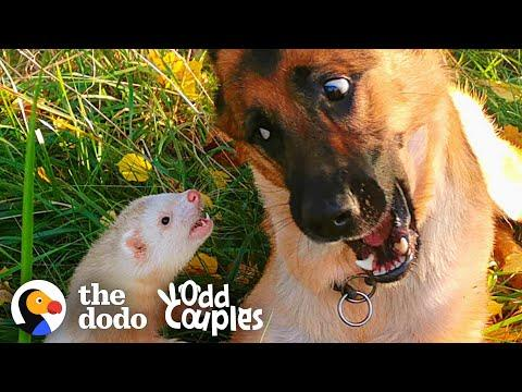 Watch This Dog And Ferret Become Best Friends Video | The Dodo Odd Couples