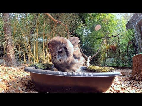 Fluffy Little Owl Takes A Birdbath #Video
