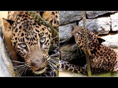 Wild leopard rescued from a 15 foot deep well in India