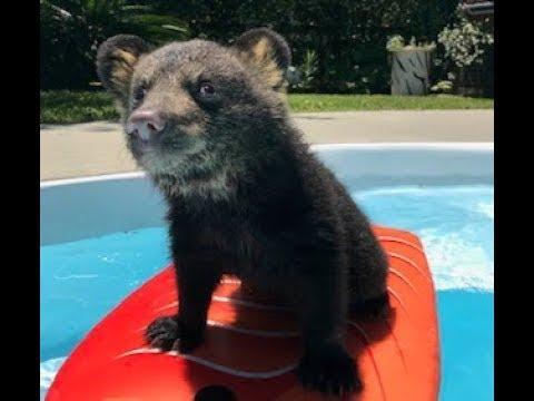 Boogie Board Bear Swims