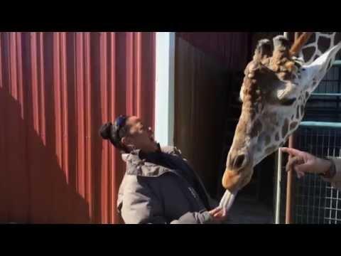 Giraffe Loves To French Kiss