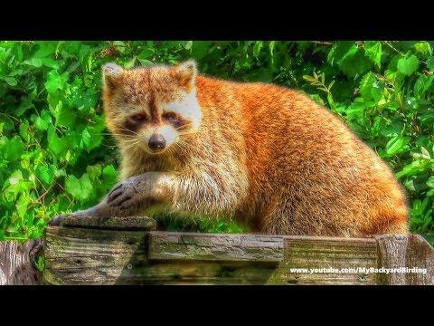 Red Panda or Mutant Raccoon?