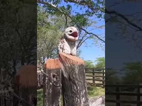 Potoo birds hauntingly beautiful sound #Video