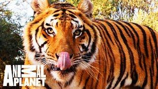 Animal Bites With Dave Salmoni | A Cause with Claws: Global Tiger Day and Project C.A.T.