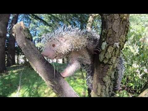 Prehensile-Tailed Porcupine Bebeto Cronch Snacks