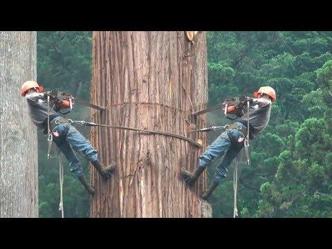 Amazing Dangerous Cutting Down Biggest Tree In The World