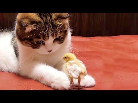 Gentle Munchkin Kitty Meets Baby Chicks Video