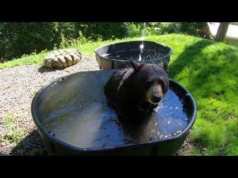 Black Bear, Elephants And Sea Otters Cool Off Video
