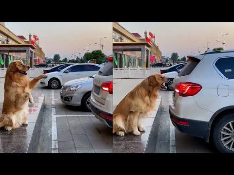 Smart Dog Helps Owner Reverse Into Parking Space And More... #Video