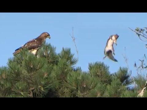 Squirrel Escapes From Hungry Hawk. Your Daily Dose Of Internet