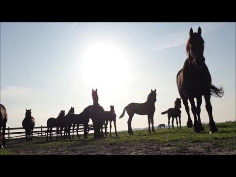 The beautiful herd of Friesian Horses at sunrise.