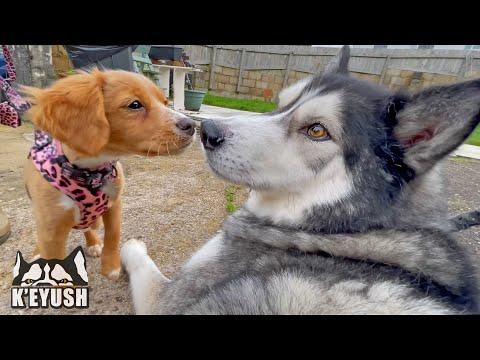 Huge Husky Meets A Tiny PUPPY And TALKS To Her! Video.