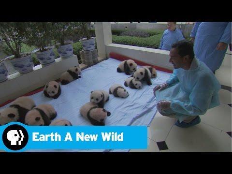 EARTH A New Wild | Panda | PBS