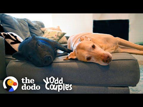 Dog and Pig BFFs Live for Their Playdates Video | The Dodo Odd Couples