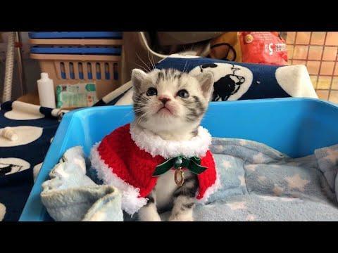Cute Christmas Baby Cat Video