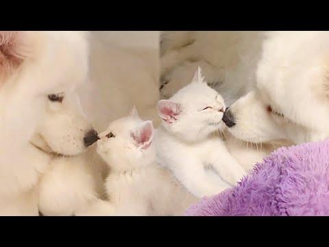 Gentle Mama Dog Loves Little Kitten Like Her Own Baby Video