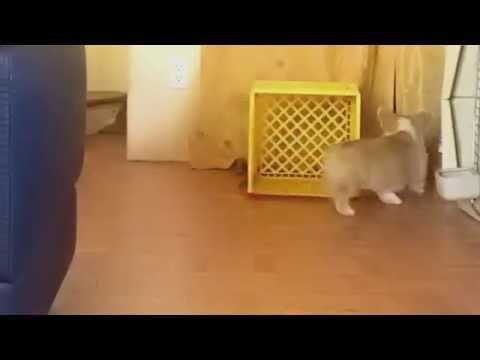 Corgi Chases His Own Leash