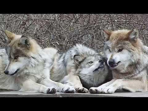 Wolf Mom Puts Up With Her Fierce And Feisty Daughters Video