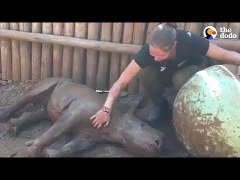 Rescued Baby Rhino Has The Best Life Now | The Dodo