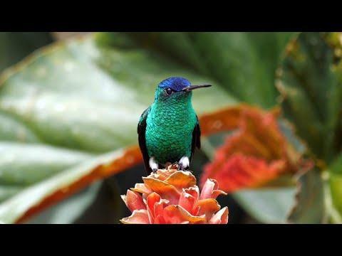 Birds of Colombia Video: Hummingbirds