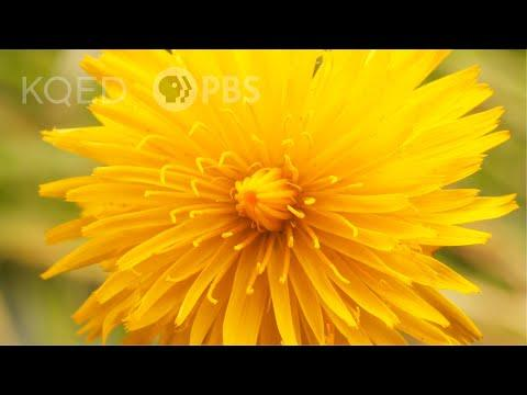 This is NOT a Dandelion. | Deep Look Video