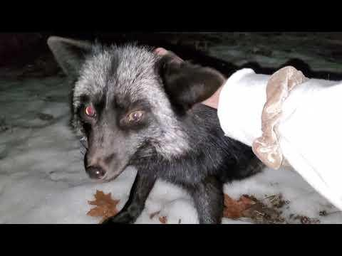 Bedtime pets for Esmae the silver fox #Video