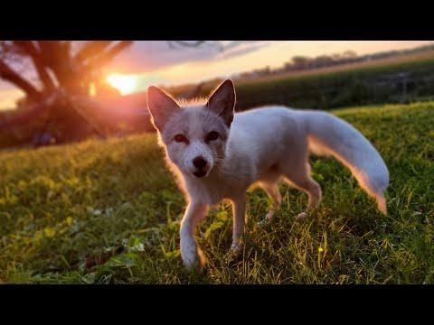 Wake up foxes #Video