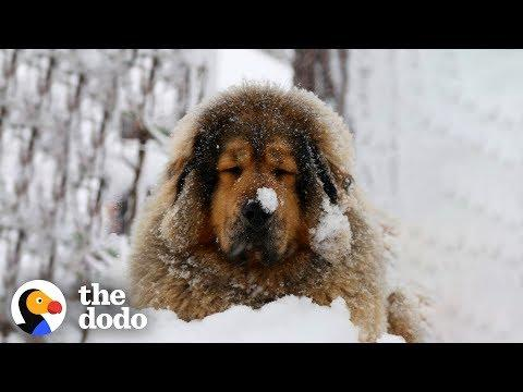 This Mastiff Dog Has The Most Perfect Fluffy Fur | The Dodo