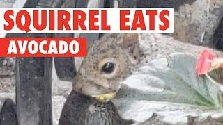 Squirrel Munches on Avocado