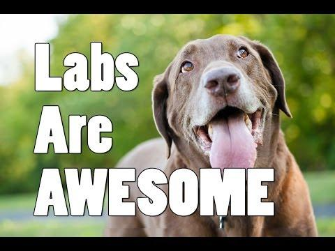 Labs Are Awesome!
