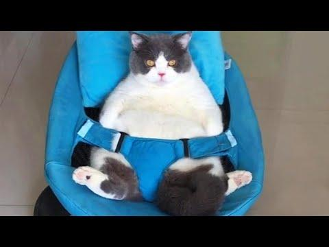 Chubby Cat Doesn't Care Any More Video