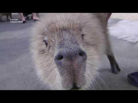 Capybaras Have the Most Beautiful Voices. Syu Sings to Me #Video
