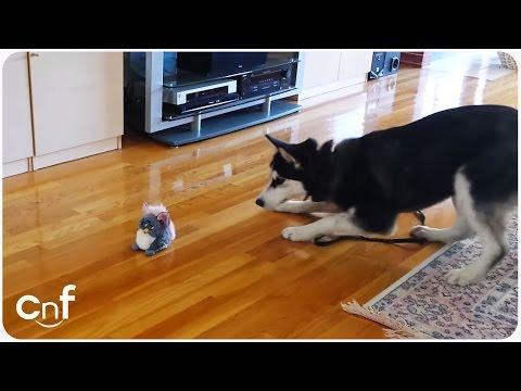 Cute Husky Freaks Out Over Ferby Doll
