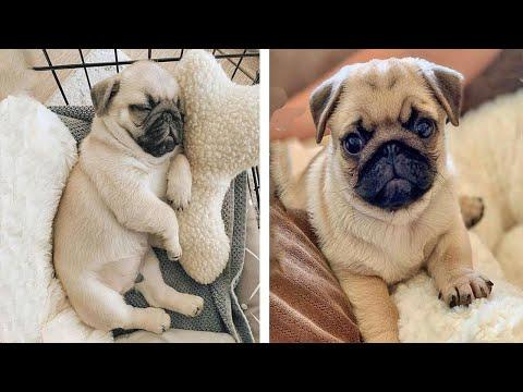 AWW SOO Cute and Funny Pug Puppies - Funniest Pug Ever #27 #Video