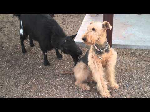 Funny Goat Tries To Torment Dog
