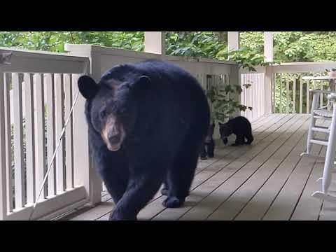 Simone The Bear And Her Cubs - back for a snack #Video