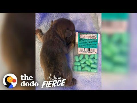 Puppy The Size Of A Tic Tac Box Grows Up To Be A Giant Potato | The Dodo Little But Fierce